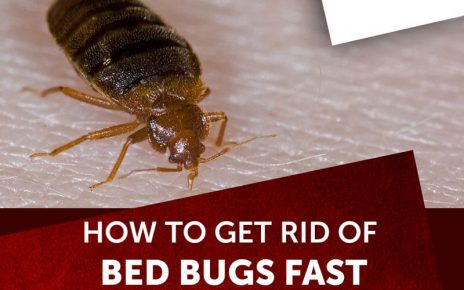 Bed Bugs | What They are and How To Control Them letsaskme