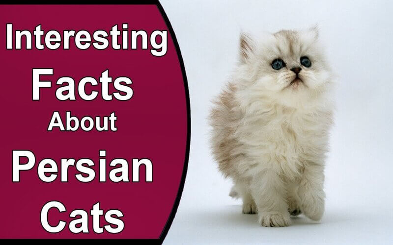 5 Facts About The Persian Cat - letsaskme guest post animal sale